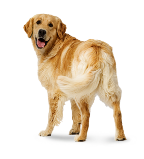 golden-retriver